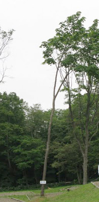 タンジェントハイトゲージで測った木(3)